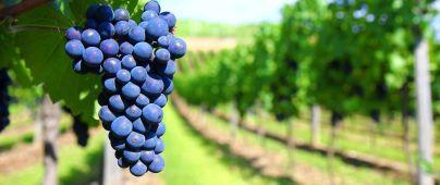 epicur magazine vino buen vivir costa rica uva