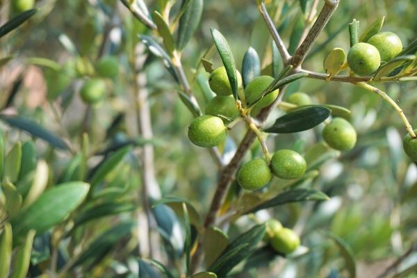 epicur magazine buen vivir aceite de oliva aceituna costa rica españa olivar.jpg