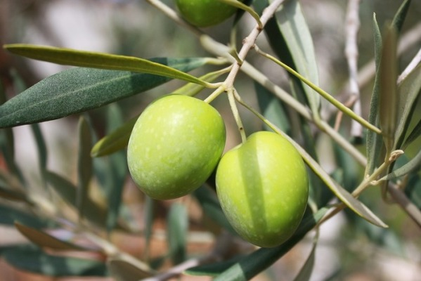 epicur magazine buen vivir aceite de oliva aceituna costa rica hojiblanca.jpg