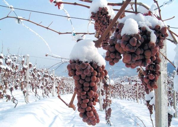 epicur magazine buen vivir vino costa rica icewine ice wine eiswine