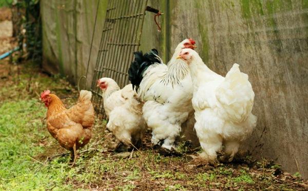 epicur magazine buen vivir comida kilometro cero foodie al mercat gallinas